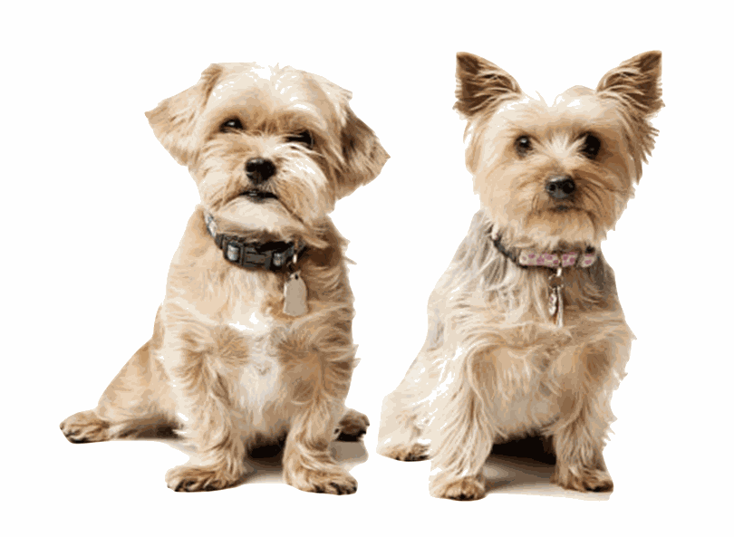 Dog Doors | Nipper (Small) dog doors for small dogs in doors and walls | Yorkshire Terrier, Shih Tzu, French Bulldog, King Charles Spaniel, Maltese, Pug, Skipperke, Brison Frisé, Chihuahua, ... | © Tomsgates